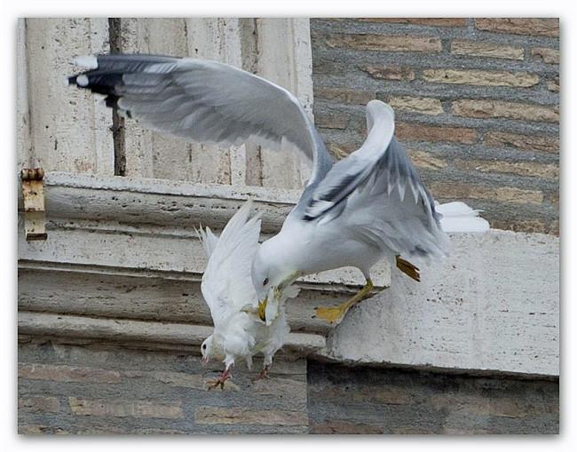 colomba-aggredita-da-gabbiano-2
