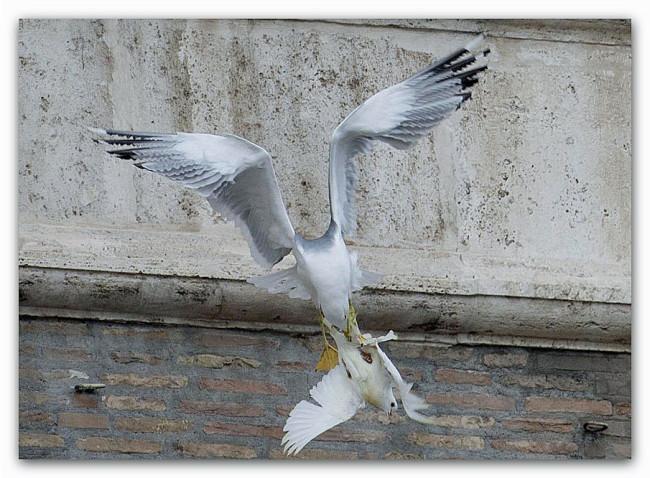 colomba-aggredita-da-gabbiano